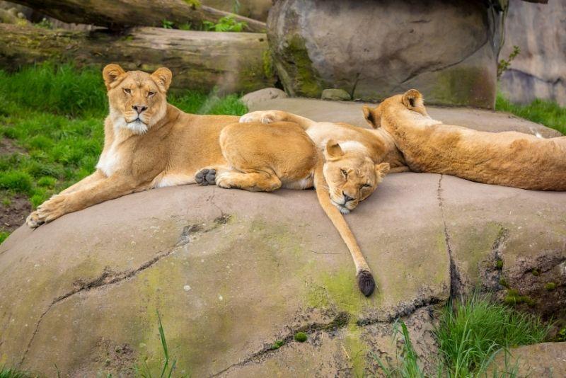 Oregon Zoo lions, Portland Max train to get to the Oregon zoo